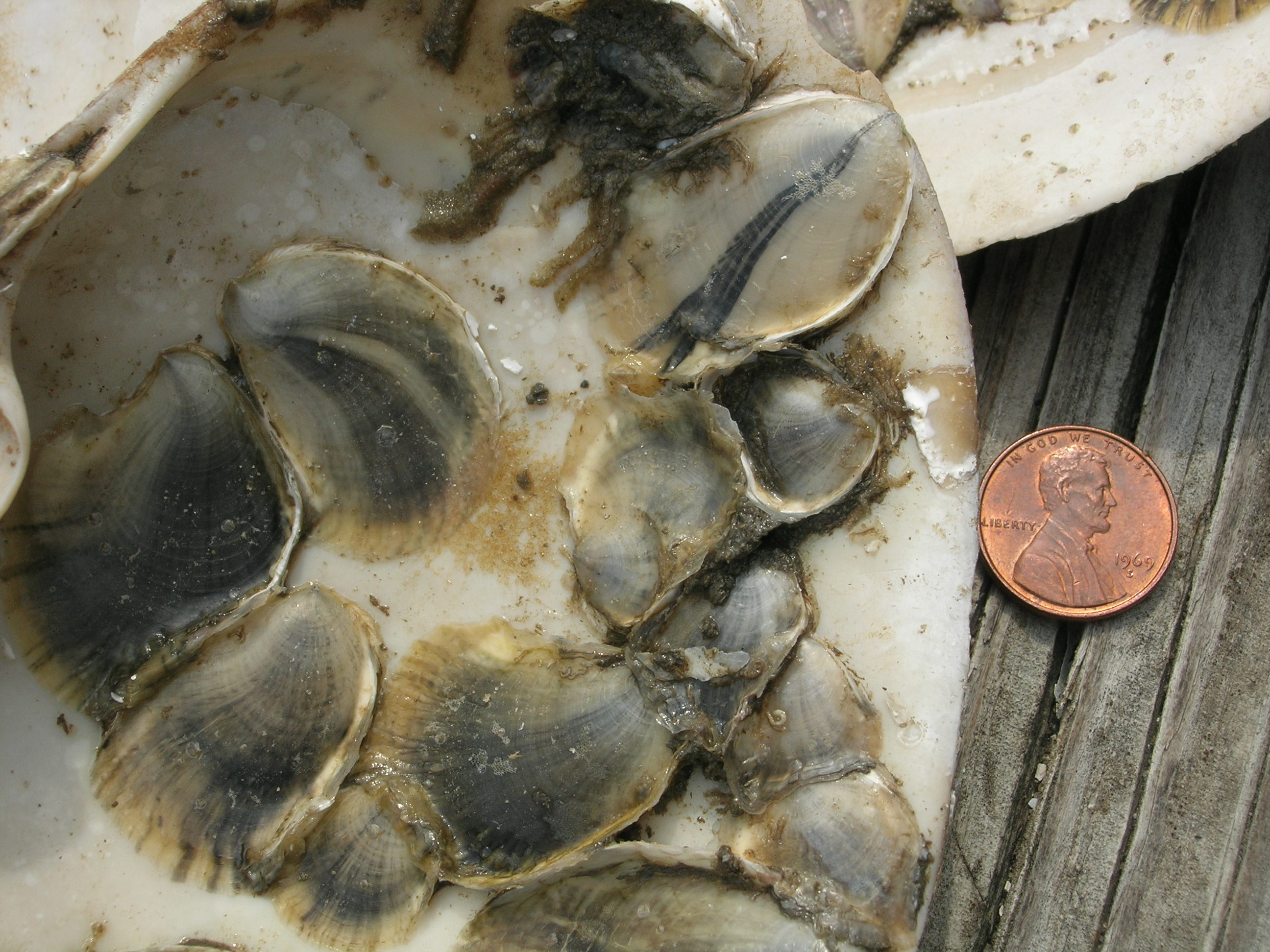 oysterspat