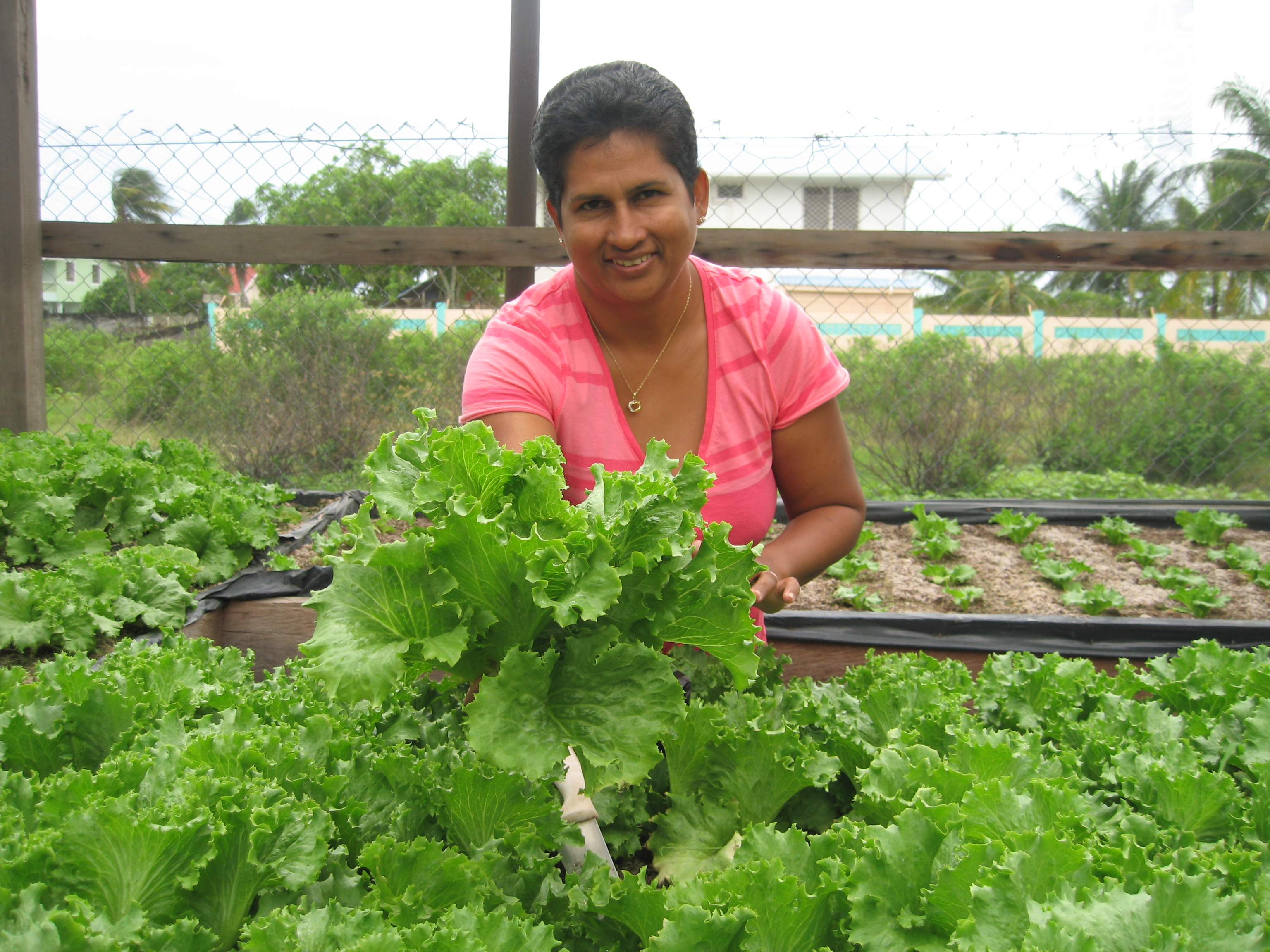 Harvesting Lettuce in Region 4