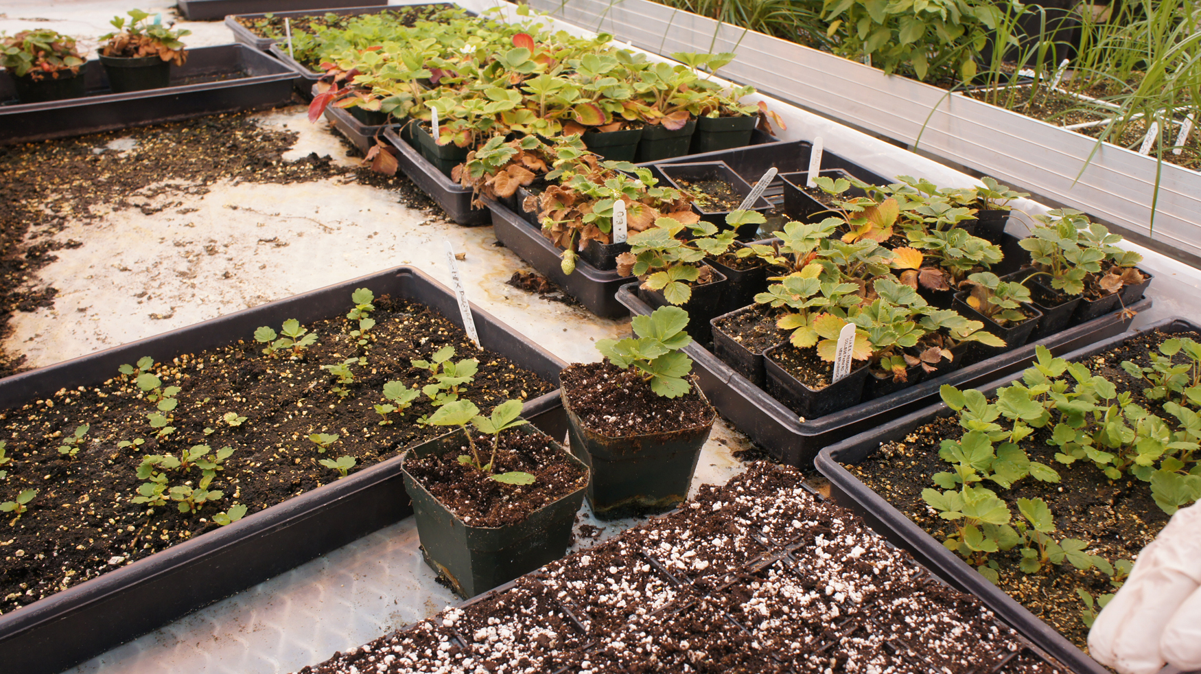 Breeding strawberries at Rutgers from start to finish