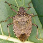 Rutgers Leads Multi-Million USDA Grant to Fight Stink Bugs