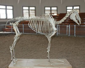 Photo: a horse skeleton