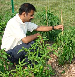 Photo: examining pepper plants