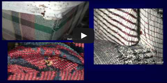 Video: Bed Bugs