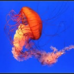 Global Warming, Development Lure Jellyfish to Barnegat Bay