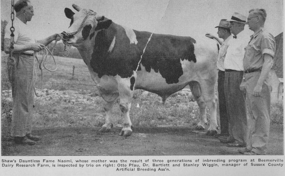 A chain around the horns and through the nose ring was the method used to control dangerous dairy bulls. Standing on right are John Bartlett (center) and Stanley Wiggin (right), Sussex AI manager. Courtesy of Department of Animal Sciences