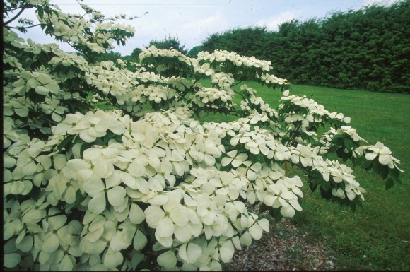 Orton's dogwood variety Ruth Ellen® was named for Ruth Ellen Steinman Bloustein. At peak bloom in the spring, this variety produces a flower that is a brilliant white color.