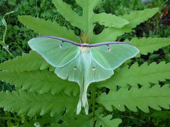 "National Moth Week 2014 is designated ""the year of the silk moth. The Luna moth is a silk moth that can be found in New Jersey. Photo by David Moskowitz"