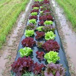 NJAES Assesses Needs of Organic Vegetable Growers and Launches Organic Weed Control Website
