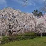 Rutgers Master Gardeners Care for Historic Cherry Trees in Branch Brook Park