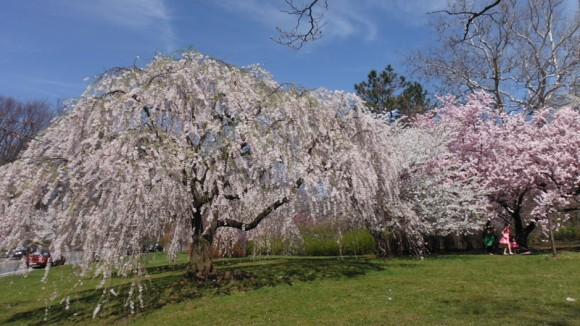 Cherry blossom time at Branch Brook Park in Newark, home to the largest collection of flowering cherry trees in the U.S.