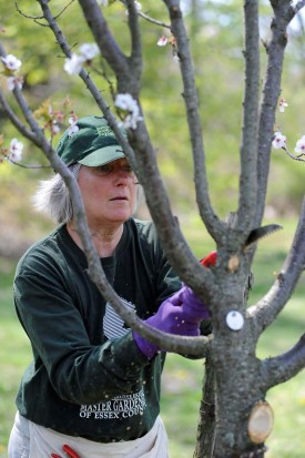 Essex County Master Gardener Jean Grossman removes a branch from a cherry tree that is starting to bloom.
