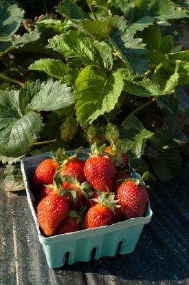 NJAES strawberry variety trial at Rutgers Snyder farm