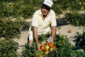Agricultural Agent Norm Smith testing plastic mulch in a field of Jersey tomatoes. Circa 1970.