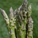 asparagus-Pete51