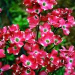 red pygmy