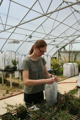 Elvira de Lange wrapping a cranberry plant with newly hatched gypsy moth larva.