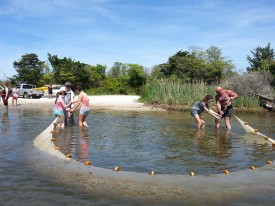 Seining at Island Beach State Park is one way to check the health of a bay ecosystem.
