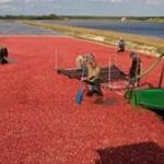 Alumni Story: Nick Vorsa, Better Cranberries Through Science
