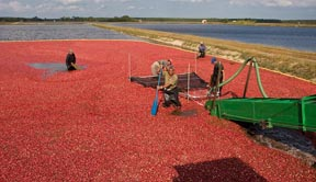 Commercial cranberry production has had increased yields with Vorsa's improved varieties.