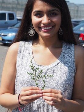 Alisha Sharma is holding her study plant, the weedy prostrate knotweed (Polygonum aviculare).  During the summer she has compared the biomass and number of seeds for populations from a variety of disturbed habitats.