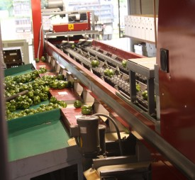 A computer analyzes video pictures of pepper fruit passing under a camera in the red box to the right and then triggers the conveyor further down the line to dump them in the correct group for size, shape and color. Blemished and misshapen peppers are separated from the fruit destined for fresh market.