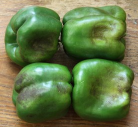 Though perfectly edible, you will rarely find Oedema blemishes on peppers in the produce aisle because they don't make the grade, but they are not wasted. Instead they are sent to a processor for chopping and freezing.