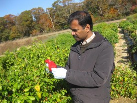 Ramu Govindasamy, leader of Ethnic Crop Research Group at Rutgers' SEBS, admires a pepper fruit from the exotic pepper plot at RAREC.
