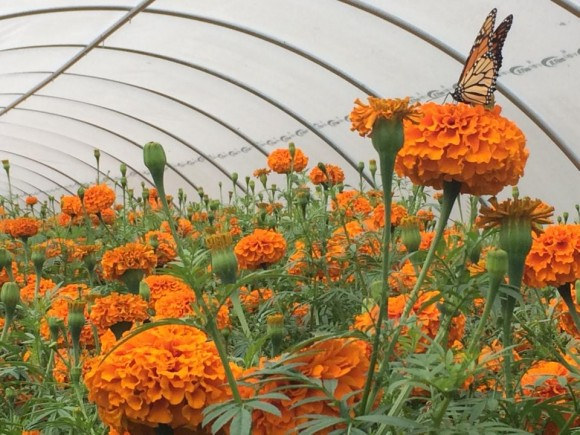 A monarch butterfly makes a stop on the marigolds growing in the Jones Avenue hoop house.