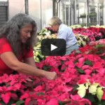 Floriculture Greenhouse Dazzles with its Annual Poinsettia Display and Sale
