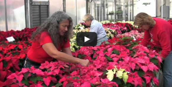 Video: Poinsettias Fill Rutgers Floriculture Greenhouse