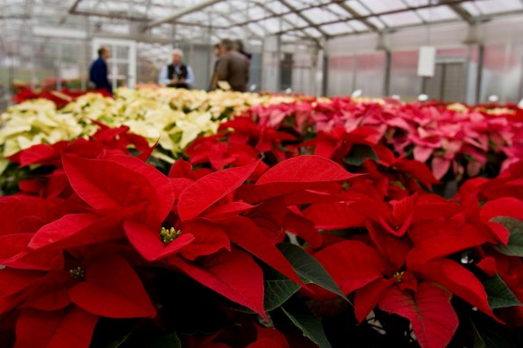 Each year the Floriculture Greenhouse on the Cook campus hosts a Poinsettia Open House followed up with a sale of the flowers. Photo by Jack Rabin.