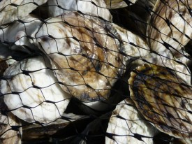 Farm-raised oysters in New Jersey ready for market.