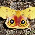 Rutgers Moth-ers Launch Effort to Make NJ First to Name a State Moth