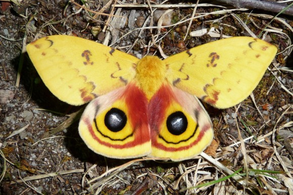 The Io moth is being proposed as the state moth for New Jersey.