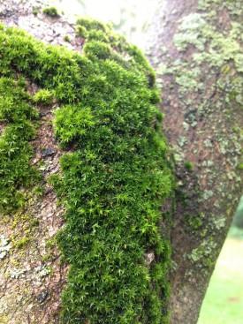 Orthotrichum stellatum on a tree in Philadelphia.