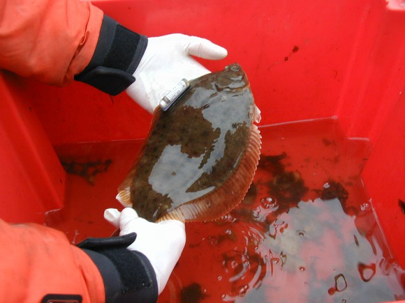 Winter flounder with ultrasonic tag used to determine habitat use and movements in Barnegat Bay as part of Rutgers finfish research.