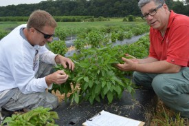 Andy Wyenandt (l) and Jim Simon examine downy mildew resistant basils in Rutgers NJAES field trials.