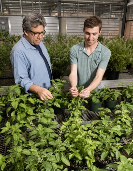 Professor James E. Simon and plant breeding Ph.D. student Rob Pyne in the basil greenhouse. After years of crosses and evaluations in fields and greenhouse, they are well down the path to developing a sweet basil variety resistant to the destructive downy mildew pathogen. Photo by Jack Rabin.