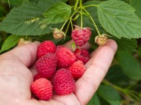 A berry good dessert is a Jersey Fresh fruit salad.