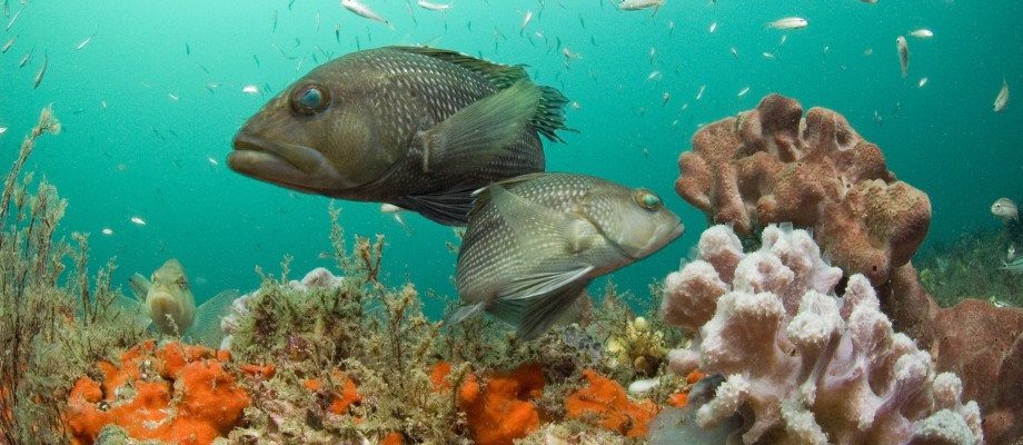 Study Looks at Gender Change in Black Sea Bass as Survival Tactic