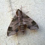 Local Moth Night to Kick Off National Moth Week July 18 in Jamesburg Park