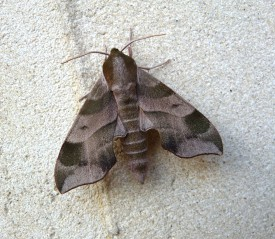 A sphinx moth. The Sphingidae family of moths are found throughout the world. Photo by David Moskowitz.