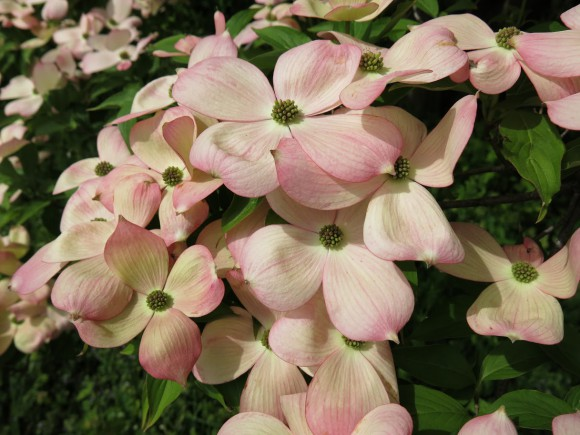 Cornus × rutgersensis 'Stellar Pink.' Photo: Tom Molnar.
