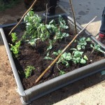 The new raised garden beds at New Brunswick Middle School are off to a good start with potato seedlings.