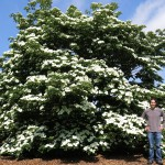 Rutgers-bred Dogwood Hybrids Formally Named After Legendary Breeder Elwin Orton and Rutgers University