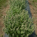 Catnip plants in NJAES research plot at Rutgers Snyder Farm.