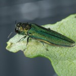 Tree-Killing Emerald Ash Borer Found in Six New Jersey Counties