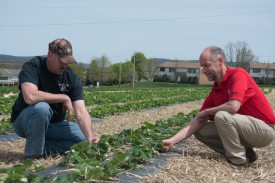 Pete Nitzsche, (r) RCE agricultural agent of Morris County, examines strawberries with farmer Greg Donaldson at Donaldson Farms in Hackettstown, NJ.