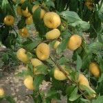 """NJAES Tree Fruit Breeder Joe Goffreda (CC'83) Named """"Inventor of the Year"""" for Patented Peach"""