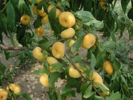 Branch of laden peaches from Goffreda's invention, 'NJF16', with its signature yellow skin color and outstanding flavor.